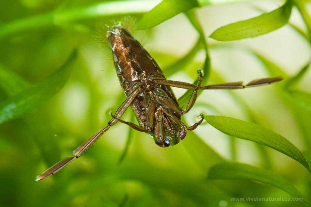 Una notonecta, animal acuático invertebrado