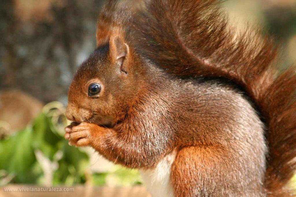 Ardilla roja o ardilla comun -sciurus vulgaris-