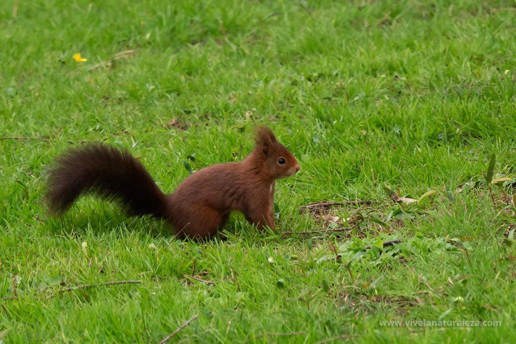 Ardilla comun o ardilla roja -Sciurus vulgaris- en un prado