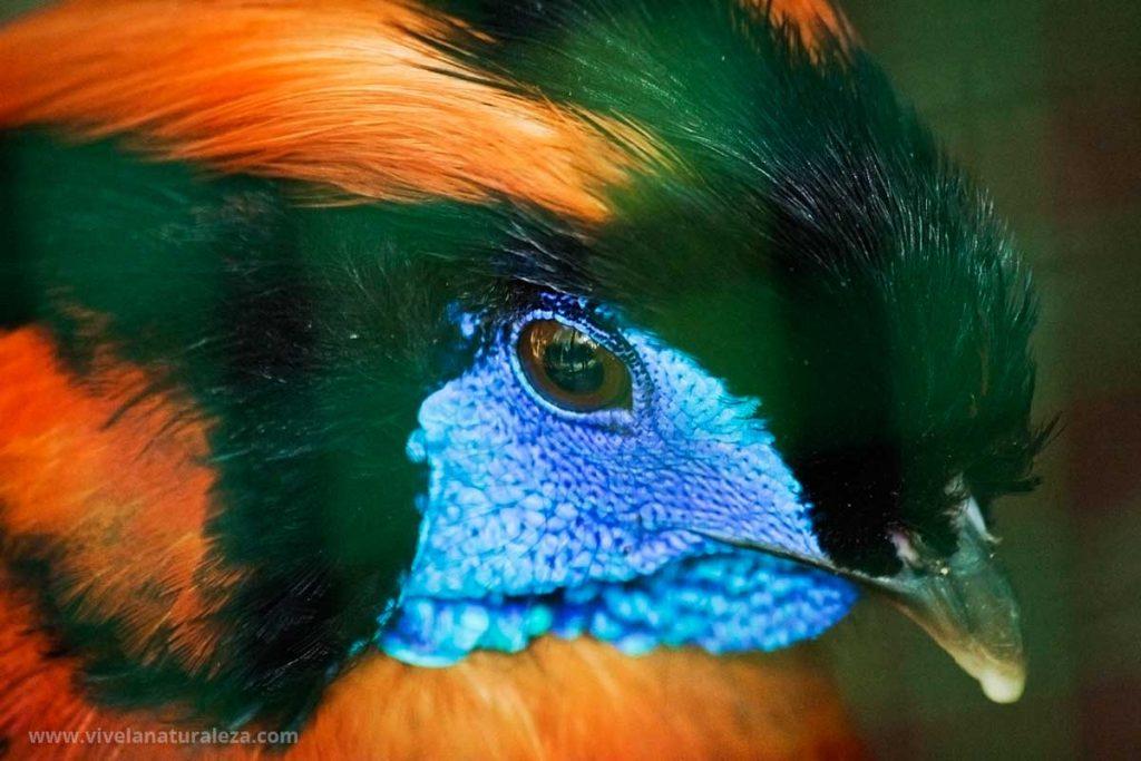 Un faisán fotografiado a través de la rejilla de su jaula