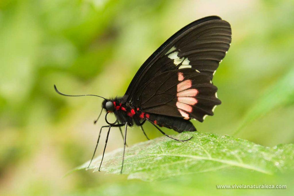 Fotografiar mariposas como esta en los mariposarios es muy gratificante