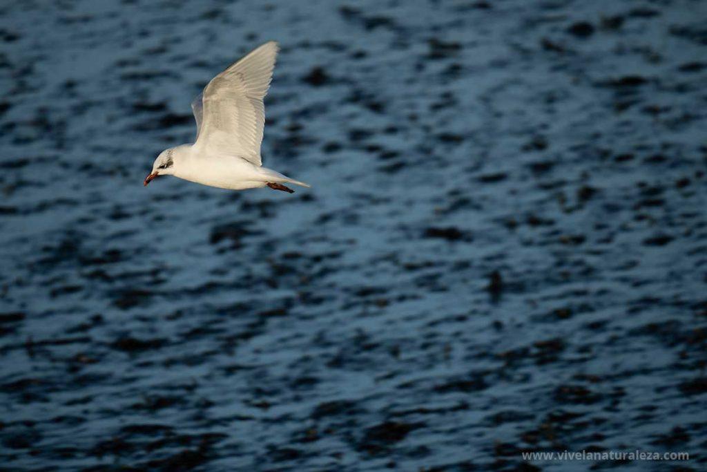 gaviota fotografiada en vuelo