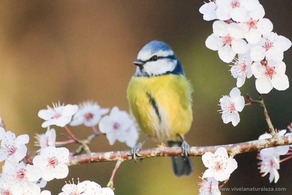 Herrerillo común en un posadero dispuesto para hacer fotos de aves