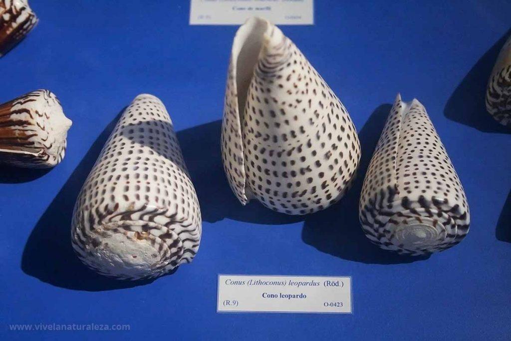 Coleccionar conchas es una afición apasionante, muy didáctica y que no daña la naturaleza