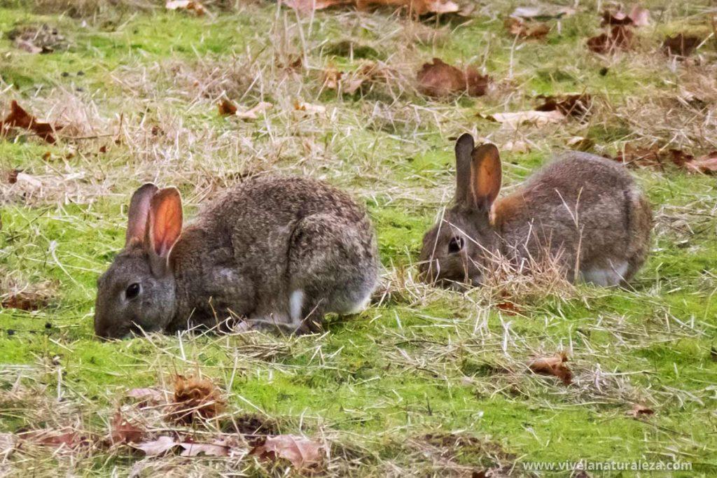 Dos conejos comunes o europeos en el campo