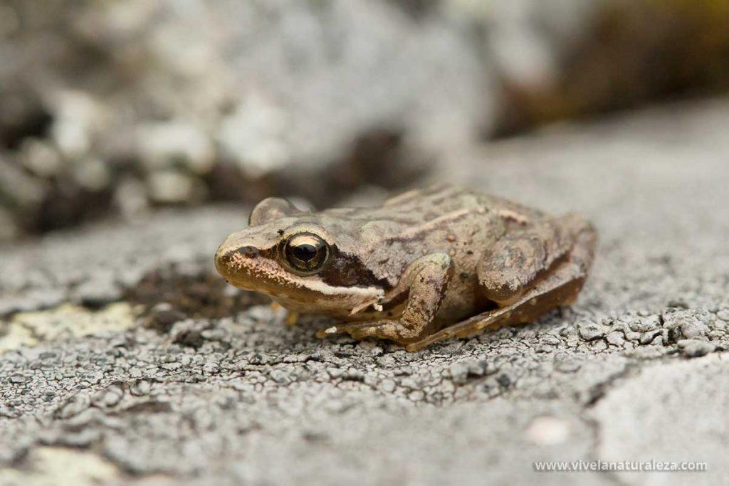 Fotografía de anfibios: una ranita