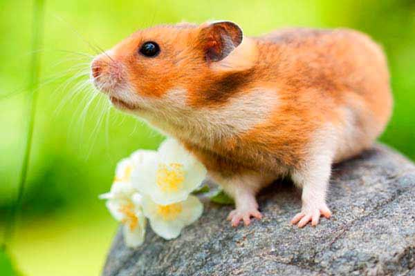 Hamster dorado -Mesocricetus auratus- sobre una piedra