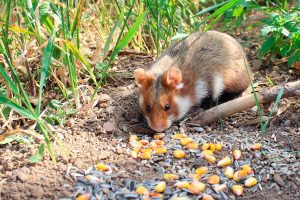 Hamster dorado -Mesocricetus auratus-