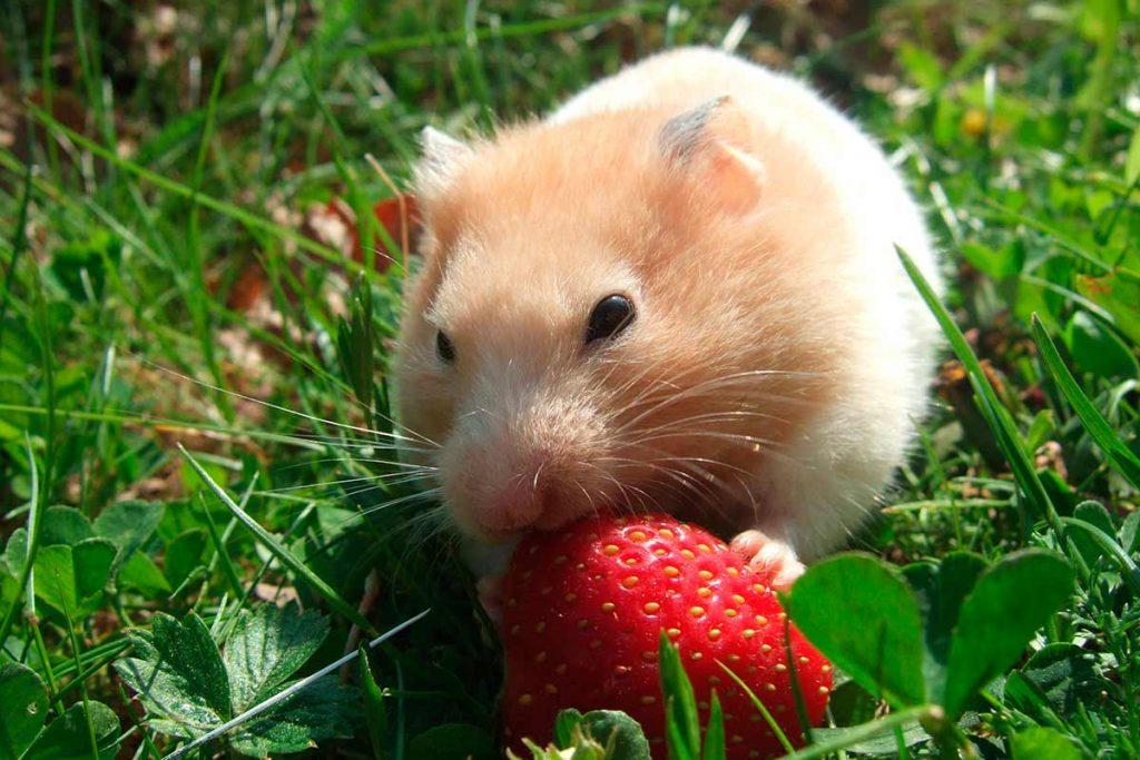 El hamster es una magnífica mascota para tener como animal de compañia.