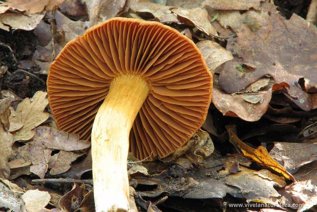 Ejemplar de Cortinarius orellanus, una seta muy venenosa que provoca intoxicaciones graves