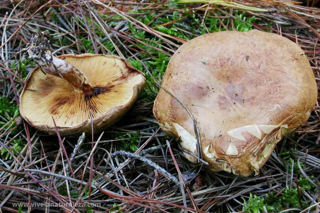 Ejemplares de la seta venenosa Paxillus involutus. La intoxicación puede provocar la muerta