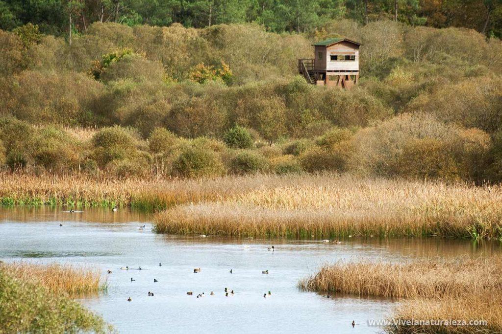 Pajaros en la laguna de Cospeito en primer terminos y un observatorio ornitologico entre la vegetacion