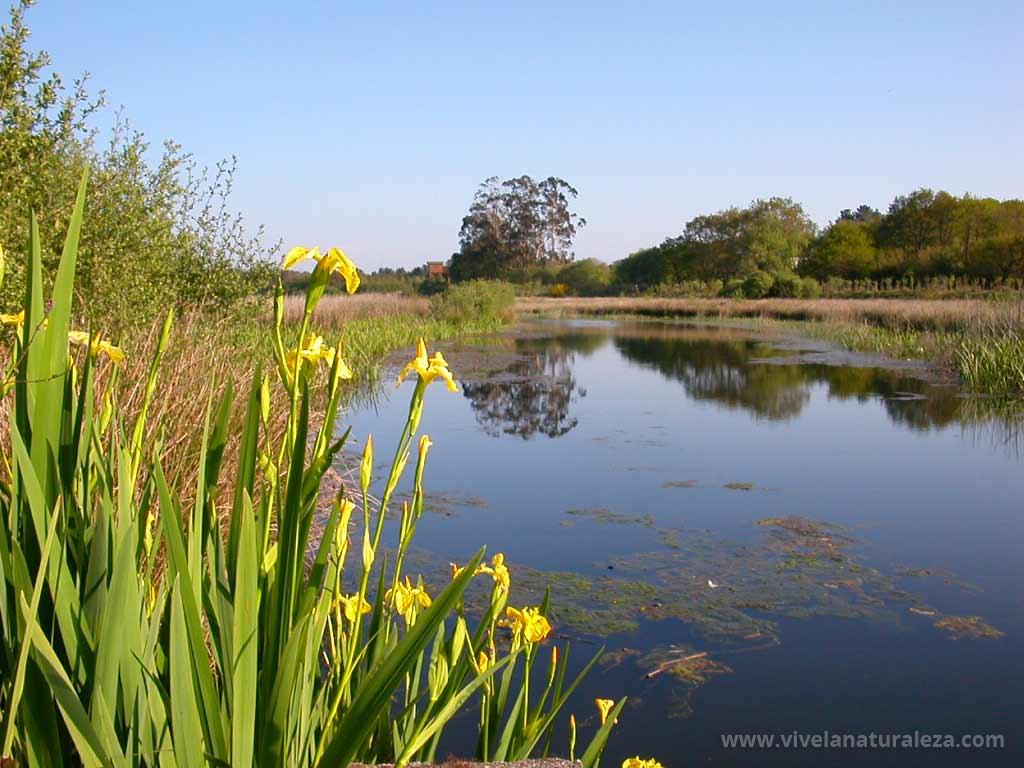Flores amarillas de acoro bastardo en la laguna de Cospeito