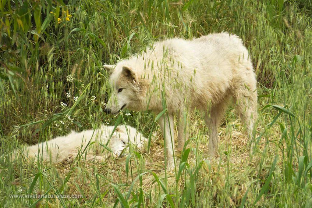 Lobo blanco. Canis lupus arctos