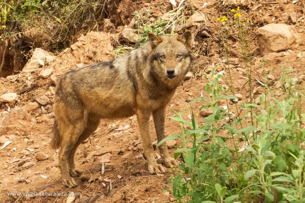 Lobo europeo. Canis lupus lupus