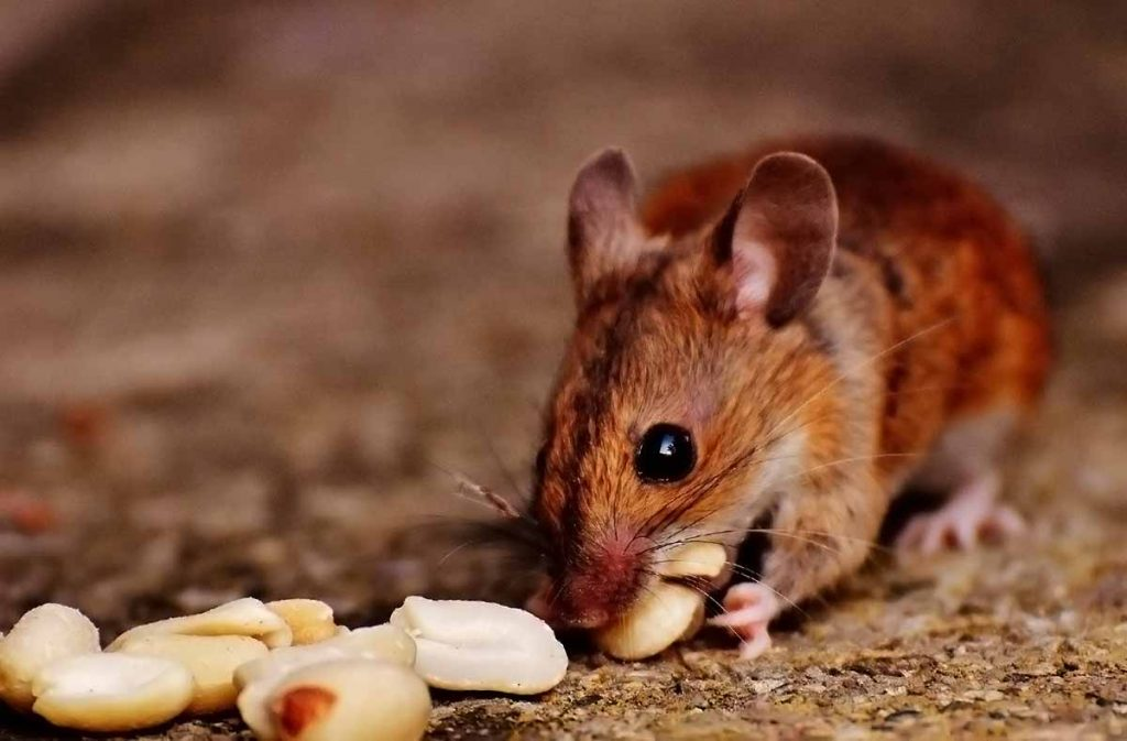 Los micro mamíferos como ratones, topillos y musarañas son fáciles de observar y cuidar en casa su les proveemos de una alojamiento adecuado