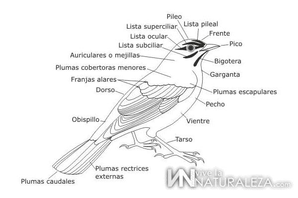 Ejemplos de ornitologia: nombres de la anatomia de un pájaro