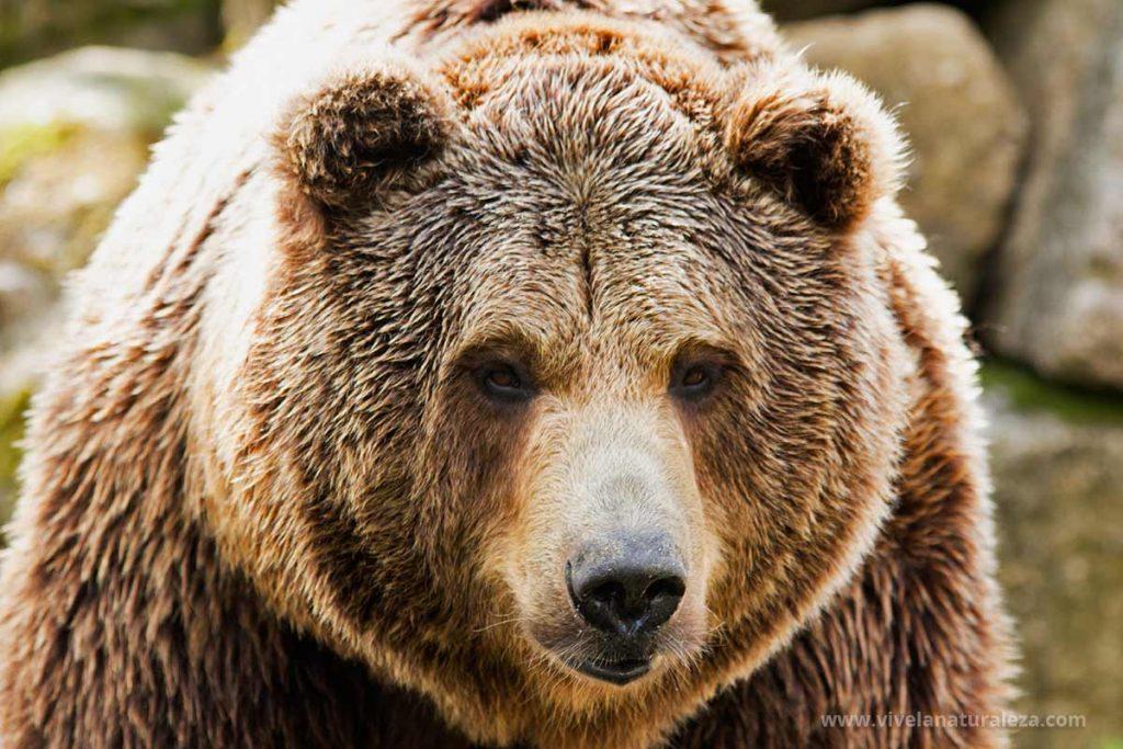 Todo Sobre El Oso Pardo Ursus Arctos Vive La Naturaleza