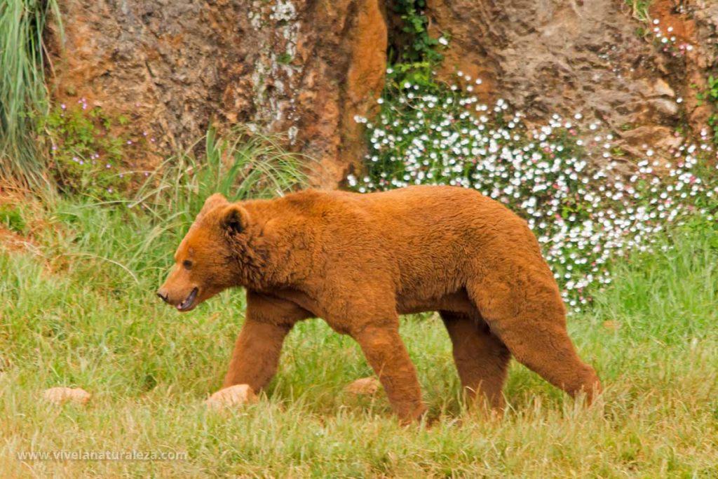 Un oso pardo joven