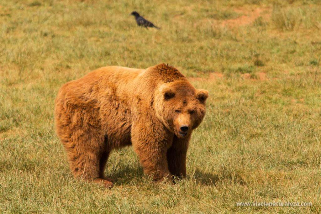 Un enorme oso pardo adulto
