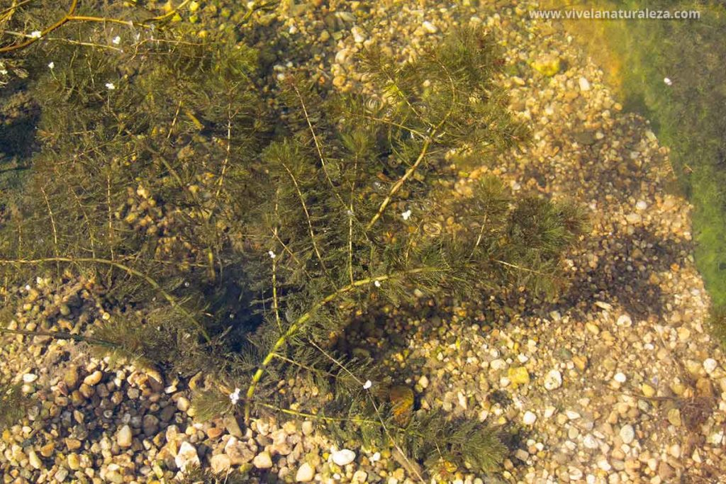 Milhojas acuática en el lecho de un río. Una planta acuática oxigenadora