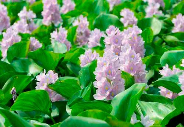 Flores de jacinto de agua, una bonita planta acuatica para tu estanque.