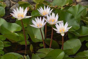 Descubre las mejores plantas acuáticas para que tu estanque casero del jardín tenga un aspecto natural y esté lleno de vida