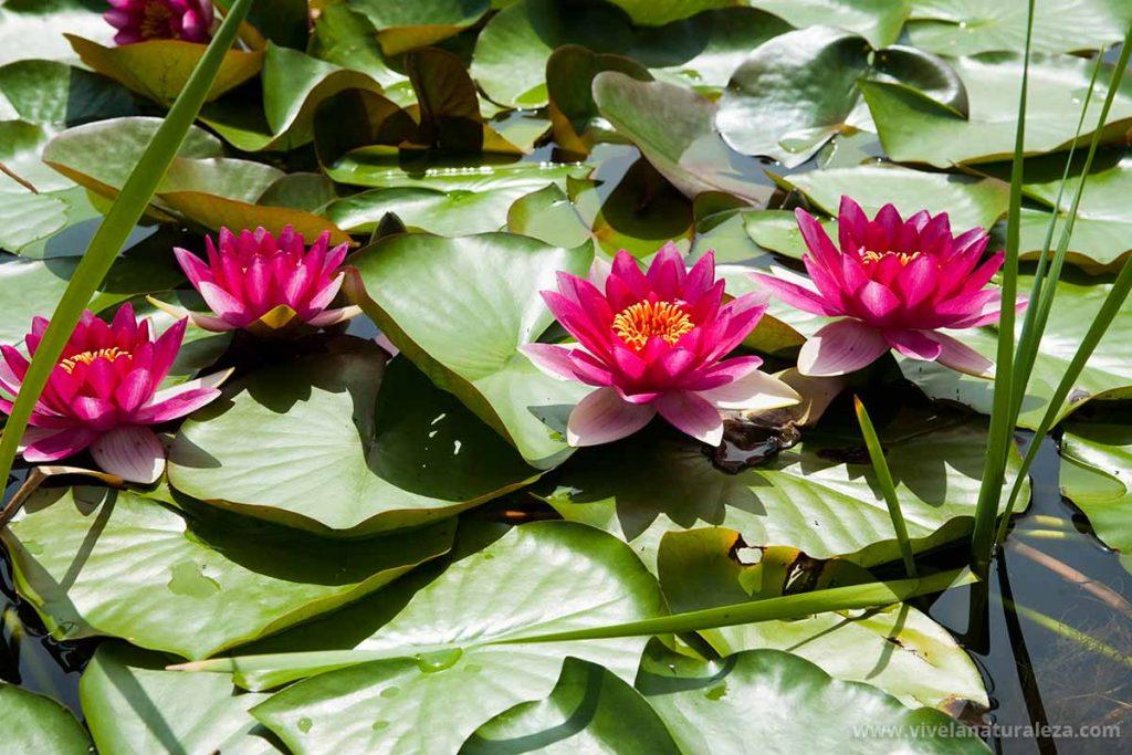 Flores de nenúfares. Los nenúfares se encuentran entre las plantas acuáticas para estanques más apreciadas