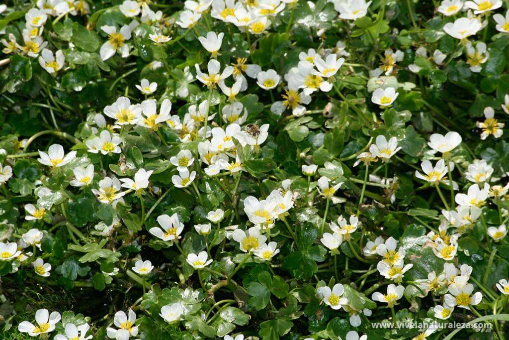 Flores de ranúnculo acuático, una planta acuática para estanques muy oxigenadora