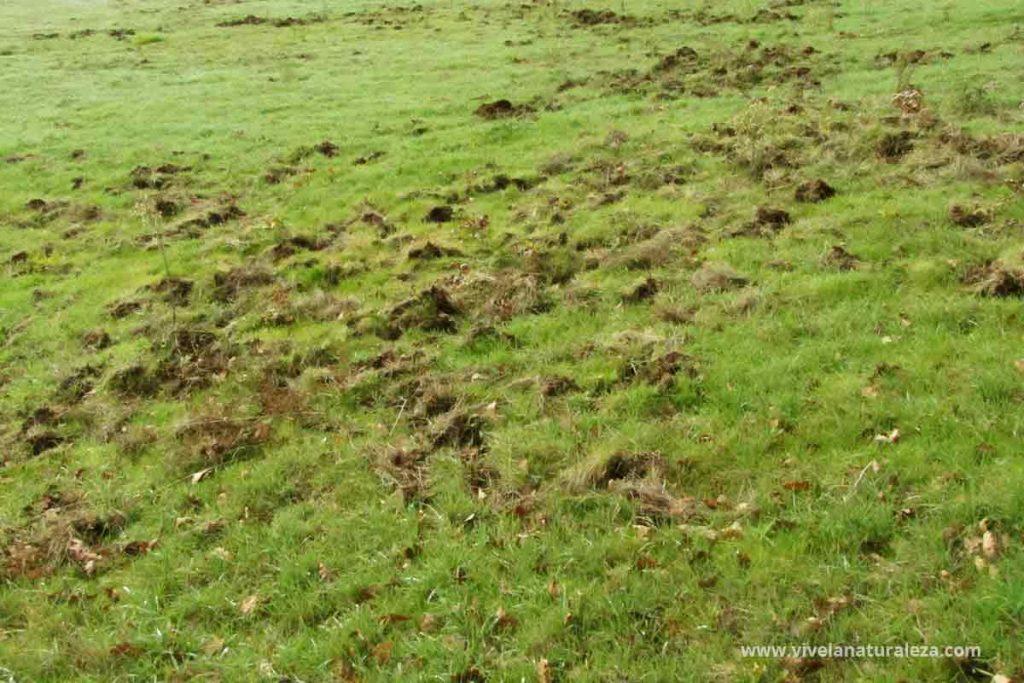 Rastros de animales: una pradera con la hierba levantada por jabalíes