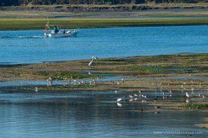 La ría de Ortigueira y Ladrido es una zona de visita obligada para los ornitólogos debido a la abundancia de especies de aves