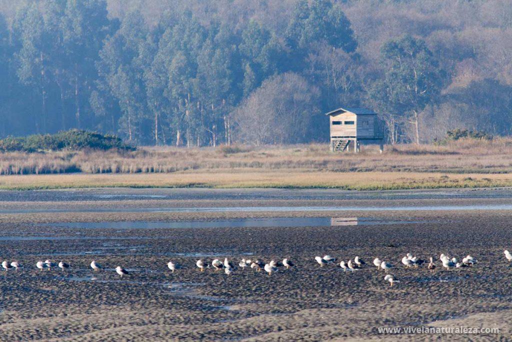Pajaros en la ria de Oritgueira con un observatorio ornitologico detrás