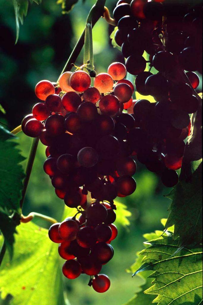 uvas al contraluz