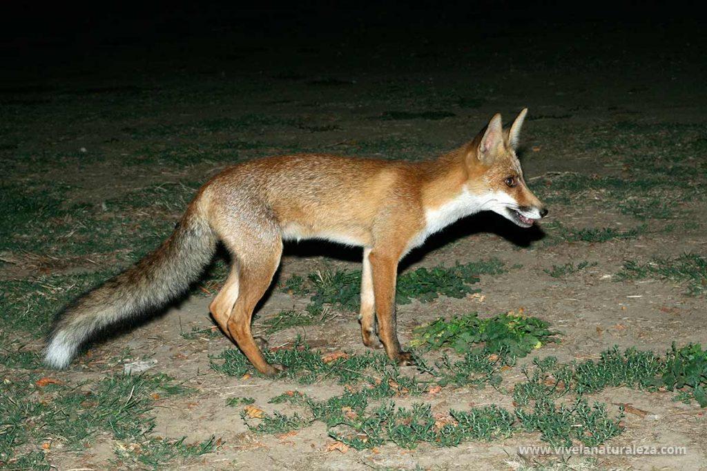 zorro comun de la subespecie iberica, Vulpes vulpes silacacea