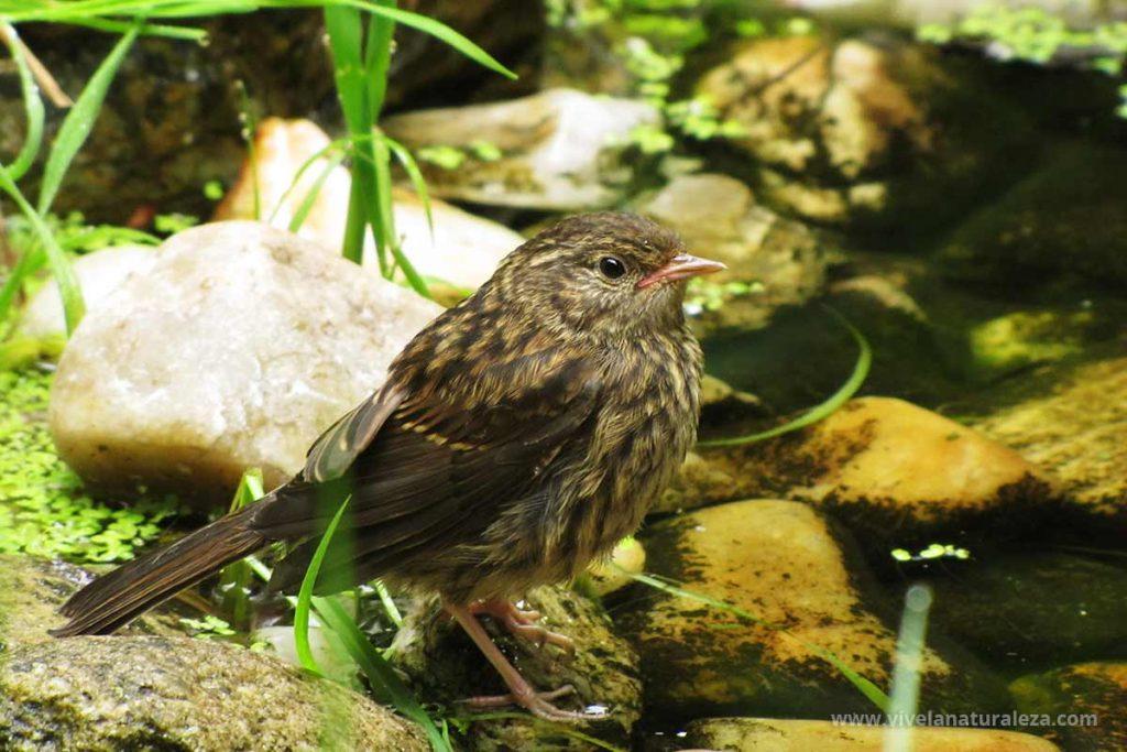 Acentor comun (Prunella modularis) joven en el borde de un arroyo