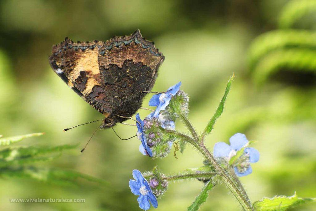 Mariposa ortiguera con las alas cerradas (Aglais urticae, Nymphalis urticae)