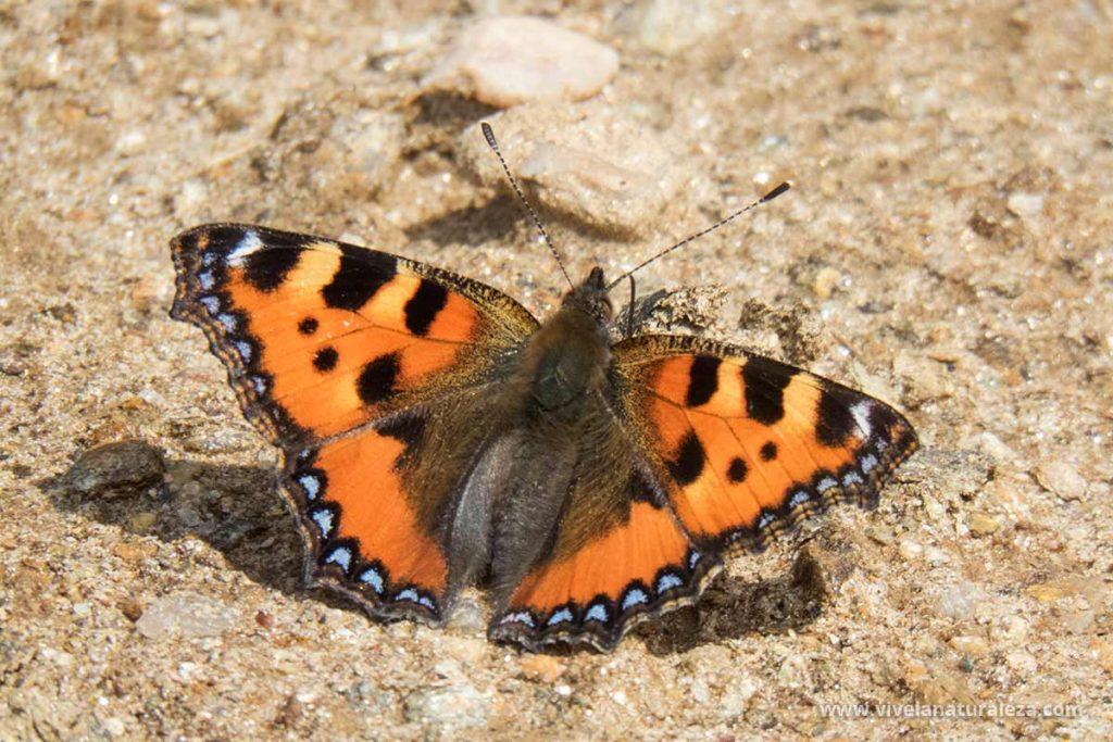 Mariposa ortiguera con las alas abiertas (Aglais urticae, Nymphalis urticae)