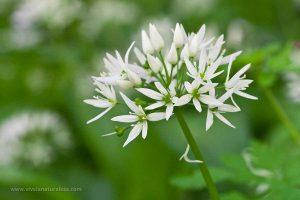 ajo de oso (Allium ursinum)