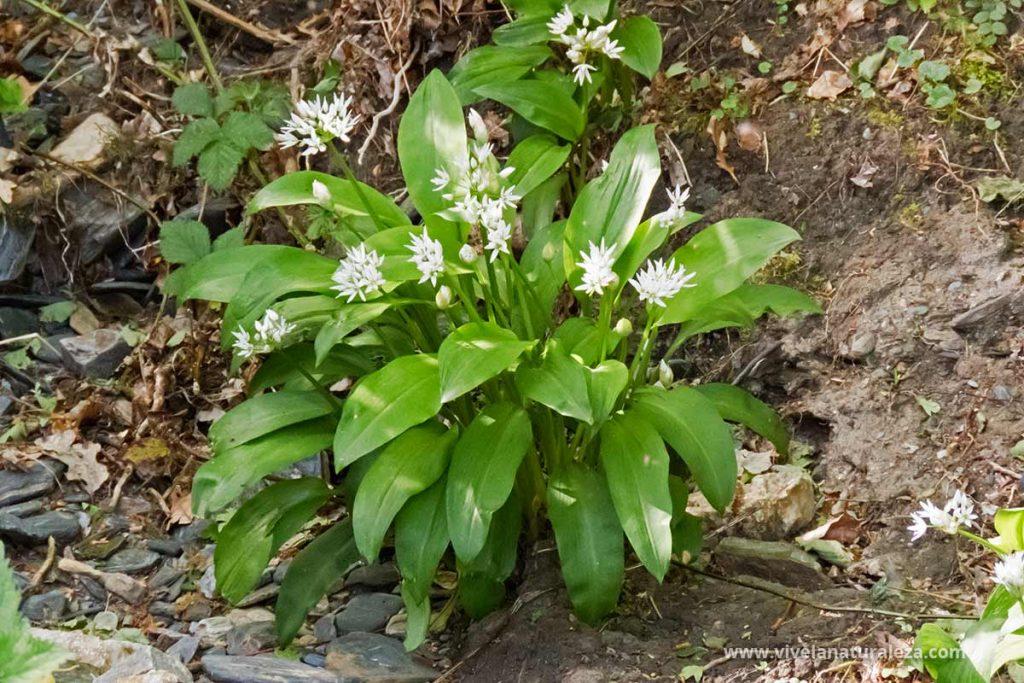 Plantas de ajo de oso (allium ursinum)