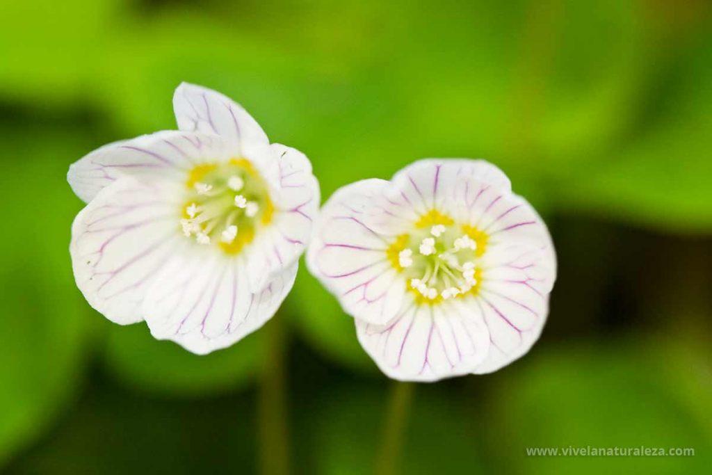 Flores de aleluya o acederilla (Oxalis acetosella)