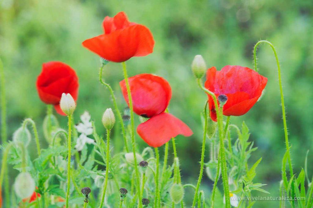 Plantas de amapola (Papaver rhoeas)