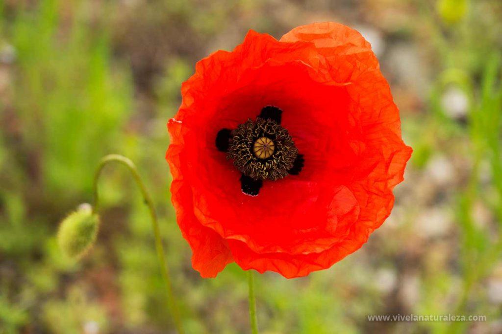 Flor de la amapola (Papaver rhoeas)