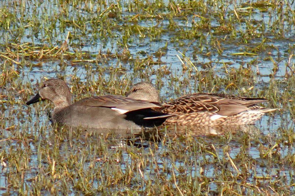 Un macho y una hembra de patos anade friso (anas strepera - Mereca strepera)