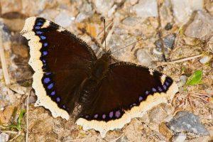 mariposa Antíope (Nymphalis antiopa)