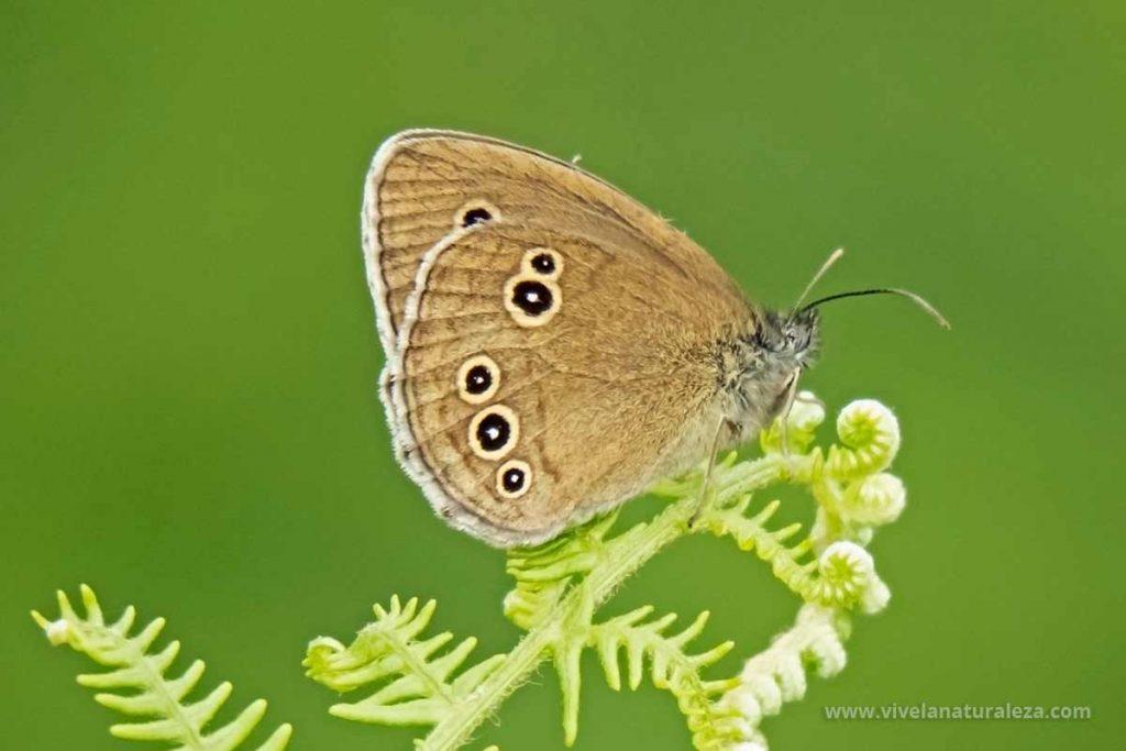 mariposa sortijitas (Aphantopus hyperantus)