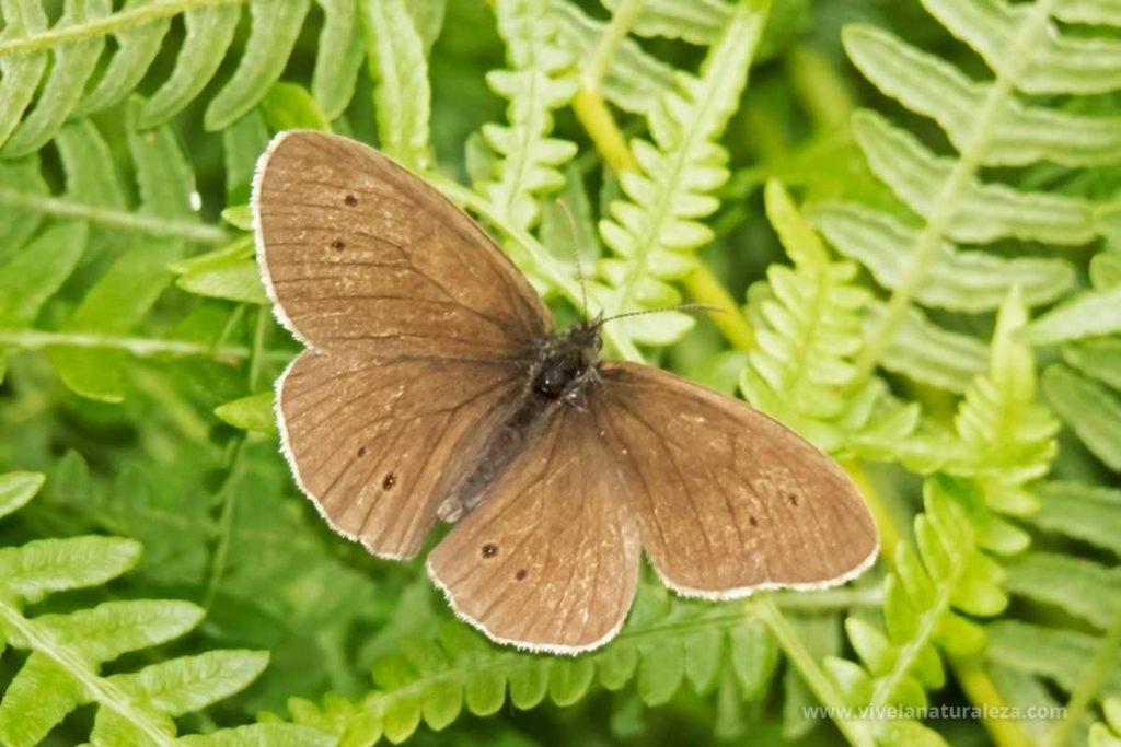mariposa sortijitas macho (Aphantopus hyperantus)