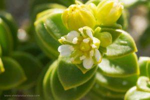 arenaria de Mar (Honckenya peploides)