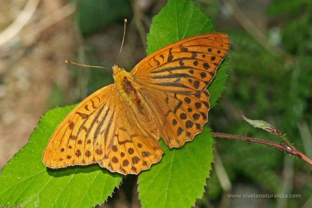 Mariposa nacarada macho (Argynnis paphia)