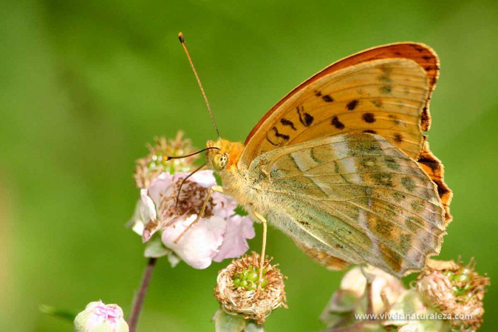 mariposa nacarada (Argynnis paphia) con las alas cerradas