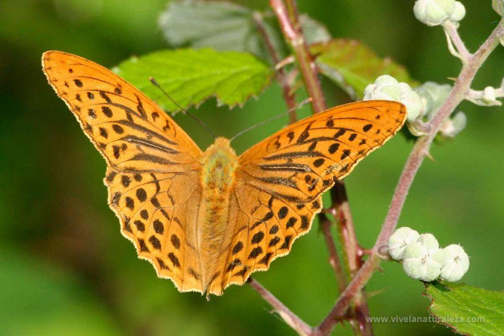 mariposa nacarada (Argynnis paphia)